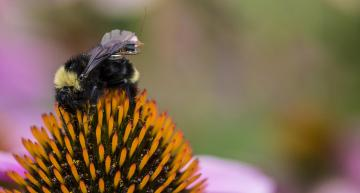 COMPUTER SCIENTISTS AND ENGINEERS AT THE UNIVERSITY OF WASHINGTON HAVE CREATED A SENSOR PACKAGE THAT IS SMALL ENOUGH TO RIDE ABOARD A BUMBLEBEE.viewmore  CREDIT: MARK STONE/UNIVERSITY OF WASHINGTON