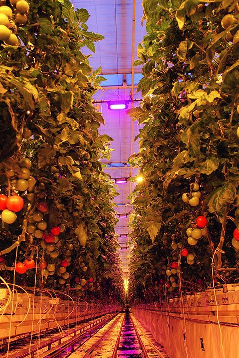 Osram invests in horticulture startup Motorleaf