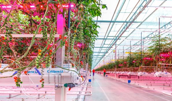 100 soccer pitches worth of tomato production under Signify LEDs