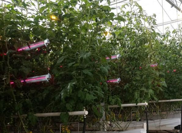 IP66-rated lighting unit delivers 300 micromoles/s for greenhouses