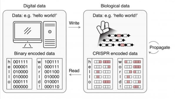 Encoding 72bits of data into DNA in a living cell