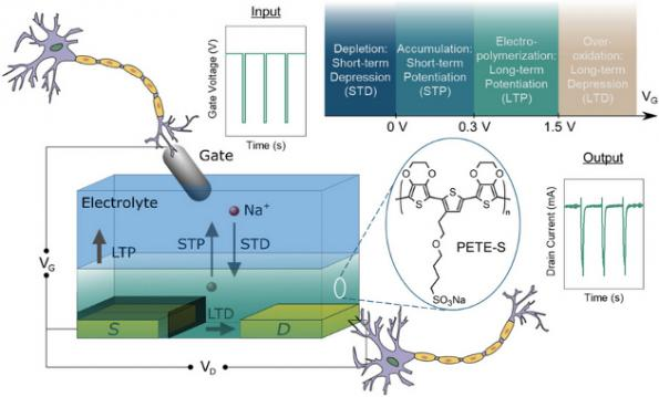 Organic transistor mimics synapse, suitable for ML/AI
